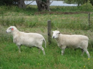 George and Henry - our new Wiltipoll rams